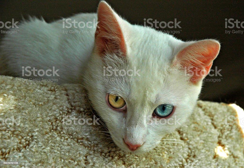 Turkish Van Cat royalty-free stock photo