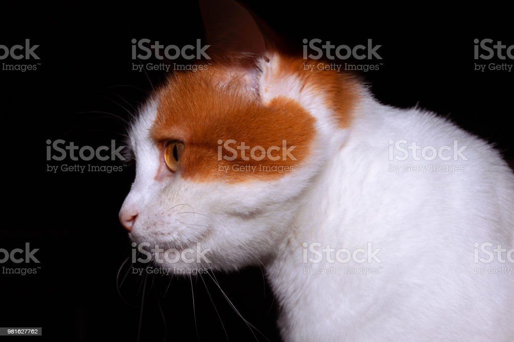 1208d30de2 Turkish Van Cat Stock Photo   More Pictures of Animal