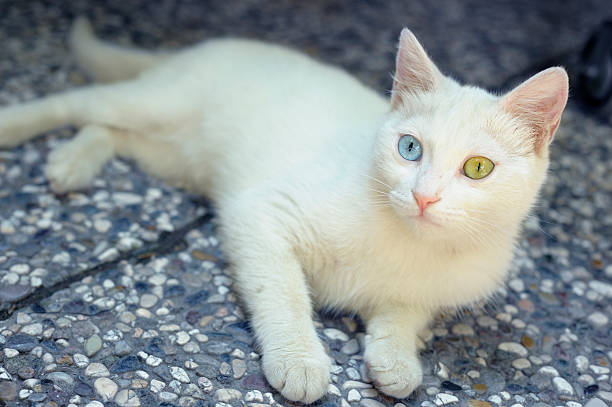 Turkish Van Cat with Differently Coloured Eyes stock photo