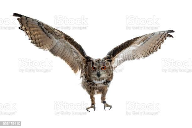 Turkmenian eagle owl bubo bubo turcomanus in flight landing isolated picture id953479410?b=1&k=6&m=953479410&s=612x612&h=dy8dwhpejoxk88xyntbdjplhkxoce5 yzz50iyoag8m=