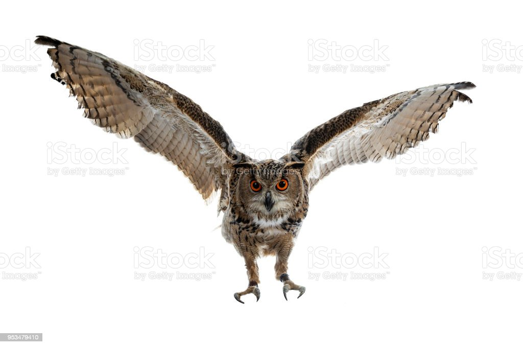 Buho de águila turkmenian / bubo bubo turcomanus en vuelo / aterrizaje aislado sobre fondo blanco mirando a la lente - foto de stock