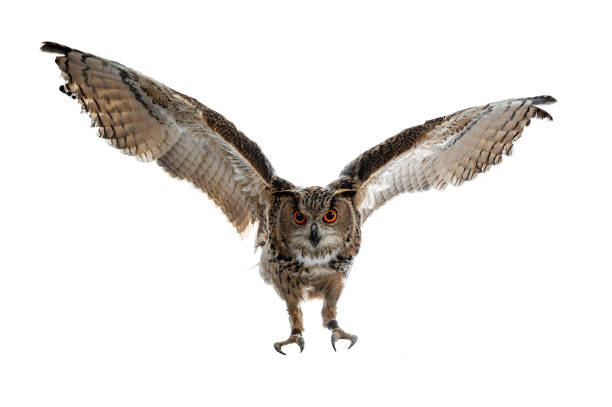 turkmenian eagle owl / bubo bubo turcomanus in flight / landing isolated on white background looking at lens - owl stock photos and pictures