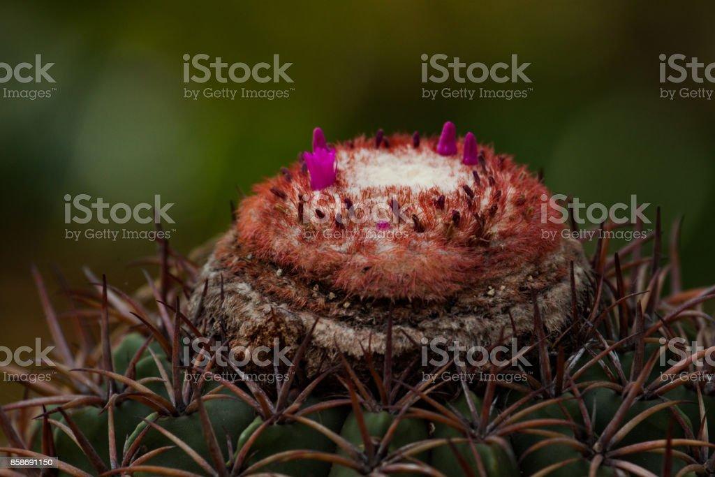 Do Turk cacto cap ou Melocactus (cacto melão) no fundo desfocado. - foto de acervo