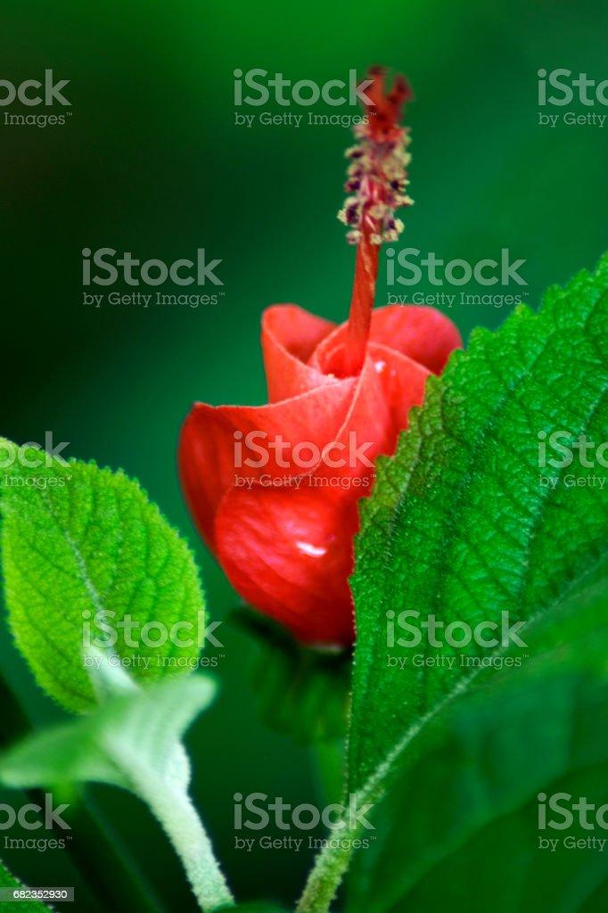 Turkscap Flower zbiór zdjęć royalty-free