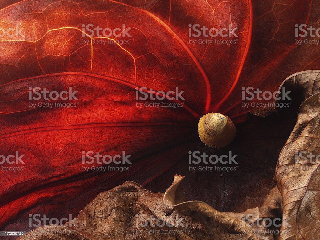 Turn red anturium stock photo