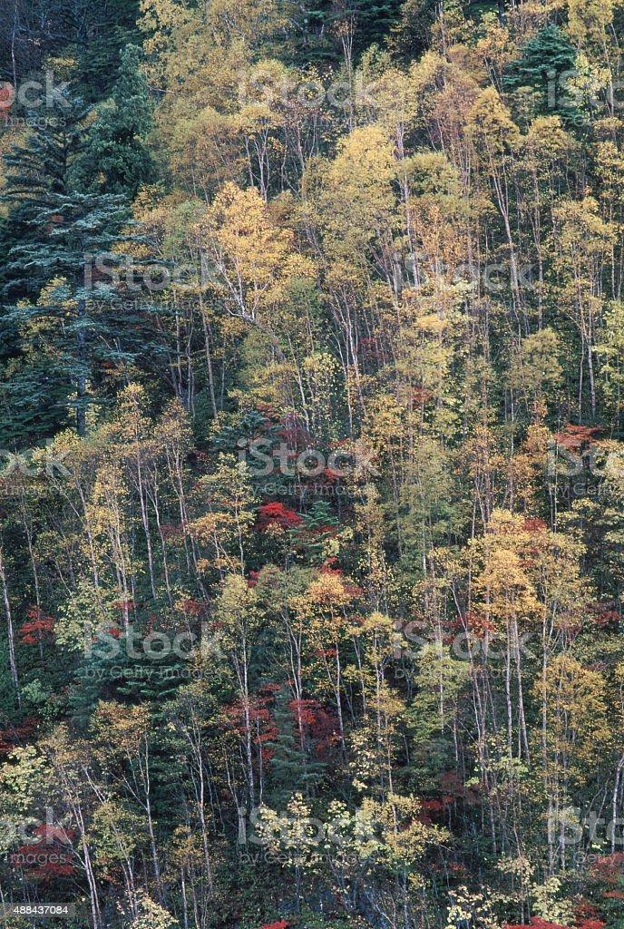 集めるイエローの白樺の森 ロイヤリティフリーストックフォト