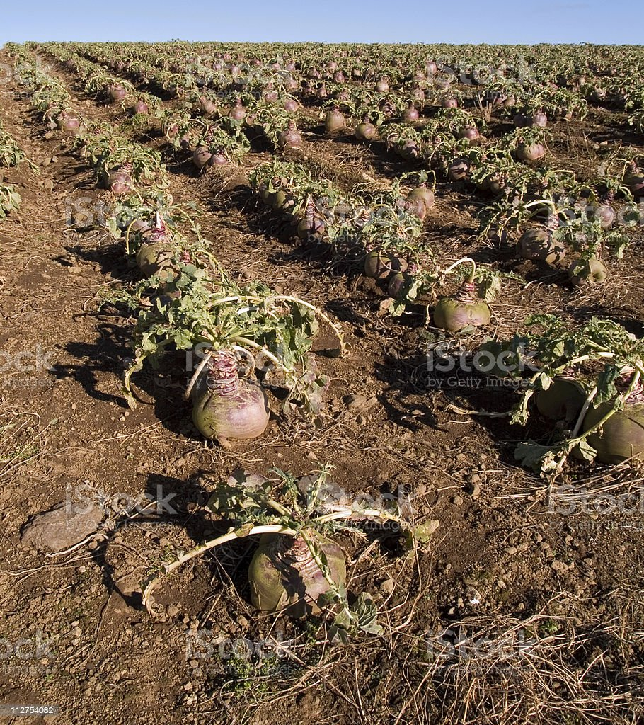 Turnip crop in field royalty-free stock photo