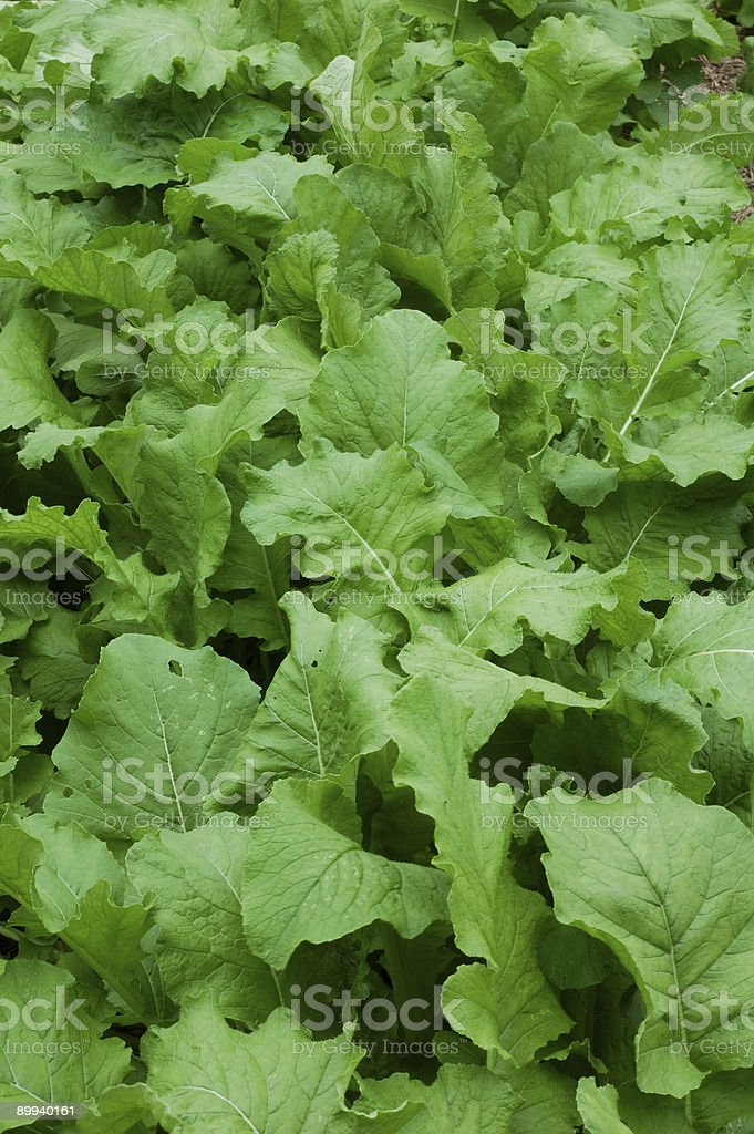 Turnip Garden royalty-free stock photo
