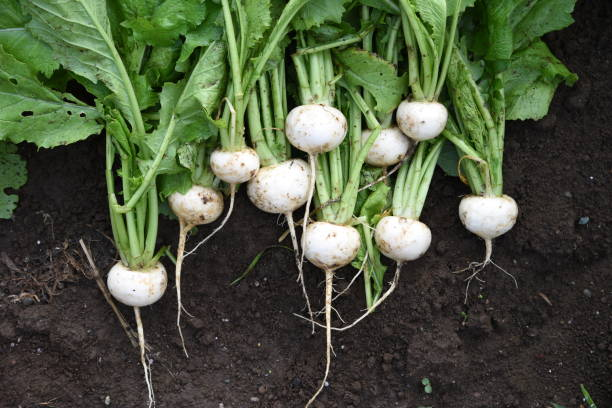 Turnip harvesting Kitchen garden / Turnip cultivation and harvesting. brassica rapa stock pictures, royalty-free photos & images
