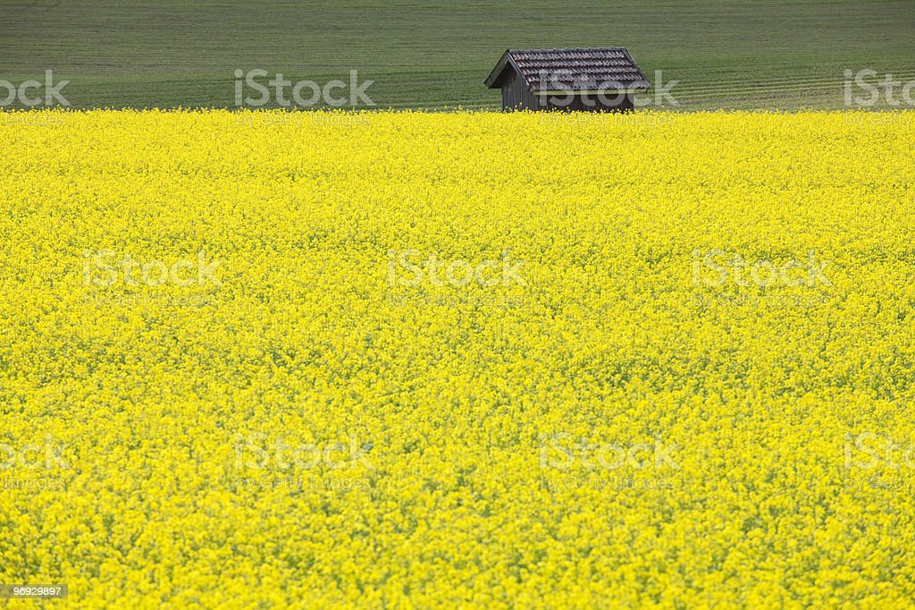 Turnip Rape Field royalty-free stock photo