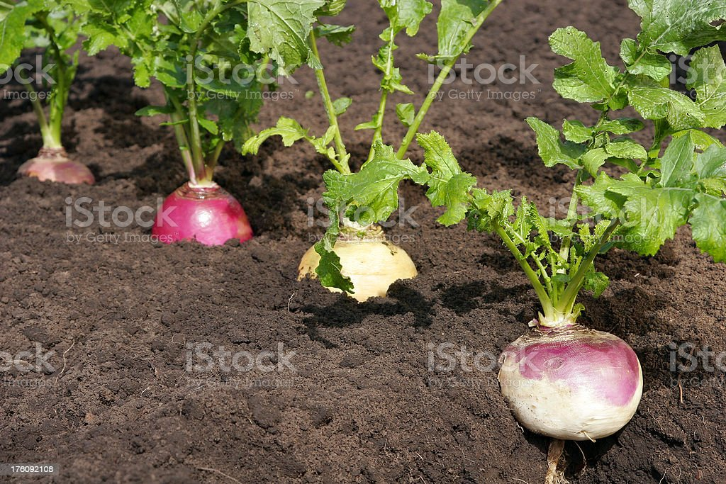Turnips in a row stock photo