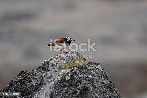 Turnstone over a rock at Svalbard Islands
