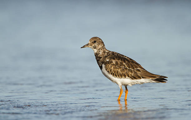 Turnstone Wading In An Estuary Just Off Hilbre Island. stock photo