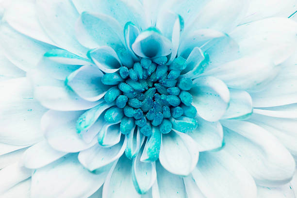 Turquoise annealed Chrysanthemum stock photo