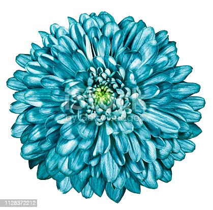 turquoise chrysanthemum on white isolated background with clipping path. For design. Close-up. Nature.