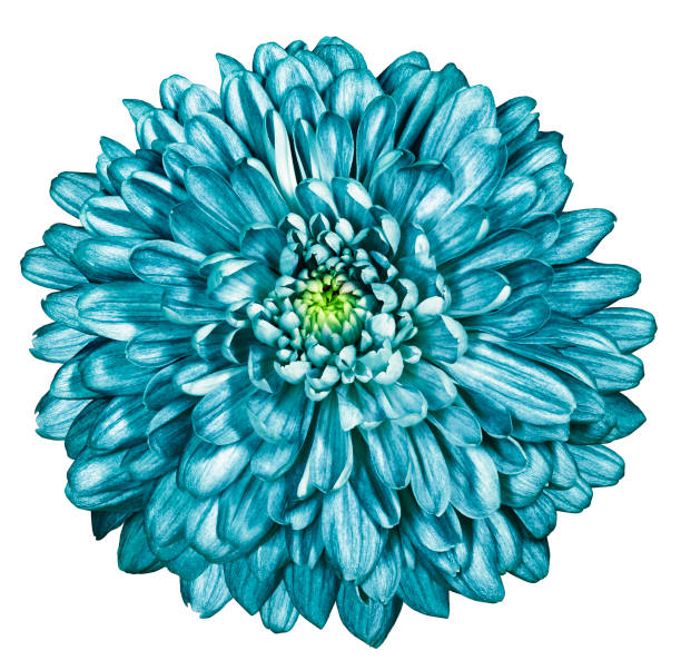 Turquoise chrysanthemum on white isolated background with clipping picture id1128372212?b=1&k=6&m=1128372212&s=612x612&w=0&h=f 4empl5aedvhs3gimyhval6tqnogu7inokz2s59ugq=