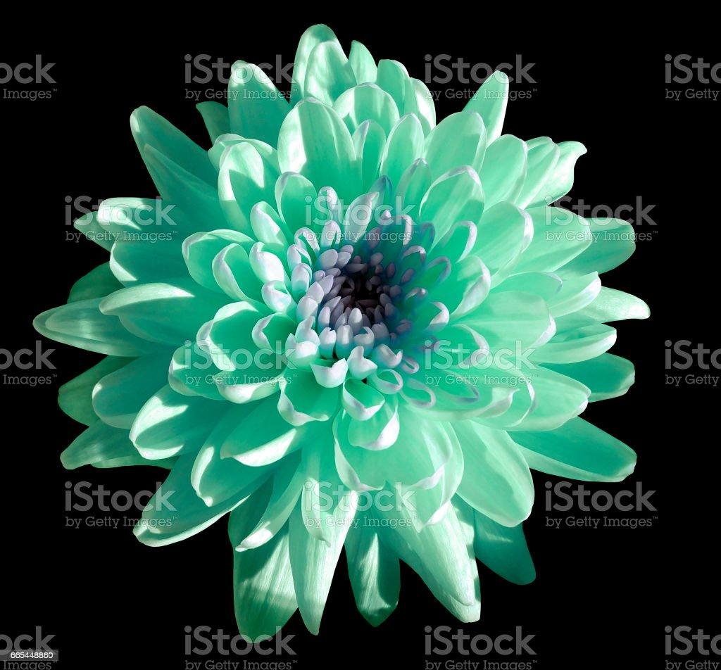 Turquoisebluewhite Flower Chrysanthemum Garden Flower Black Isolated