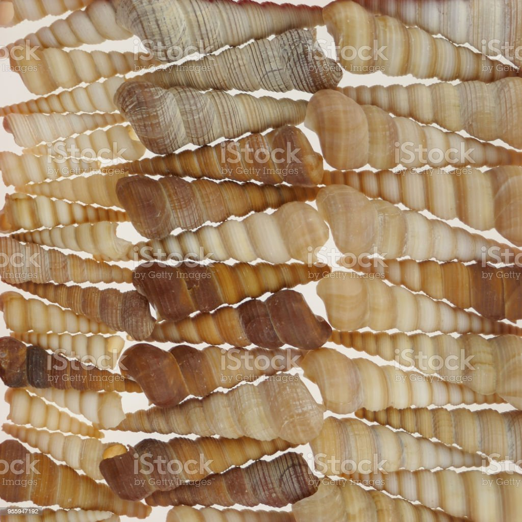 Turritella terebra. background of shells sea mollusk Turritella terebra. sea shell background.shallow spiral seashells.Sea shells texture. Summer season stock photo
