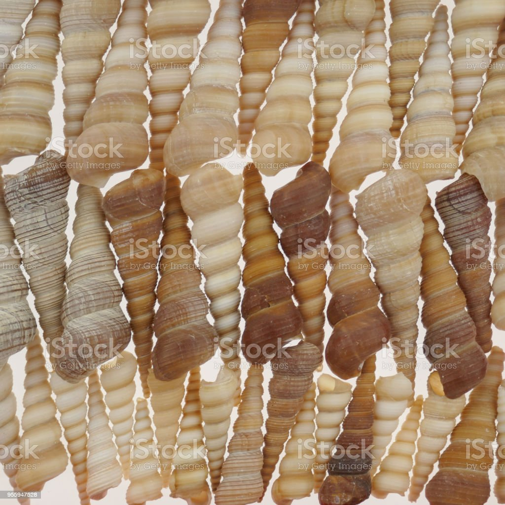 Turritella terebra. background of shells sea mollusk Turritella terebra. sea shell background.shallow spiral seashells.Sea shells texture. stock photo