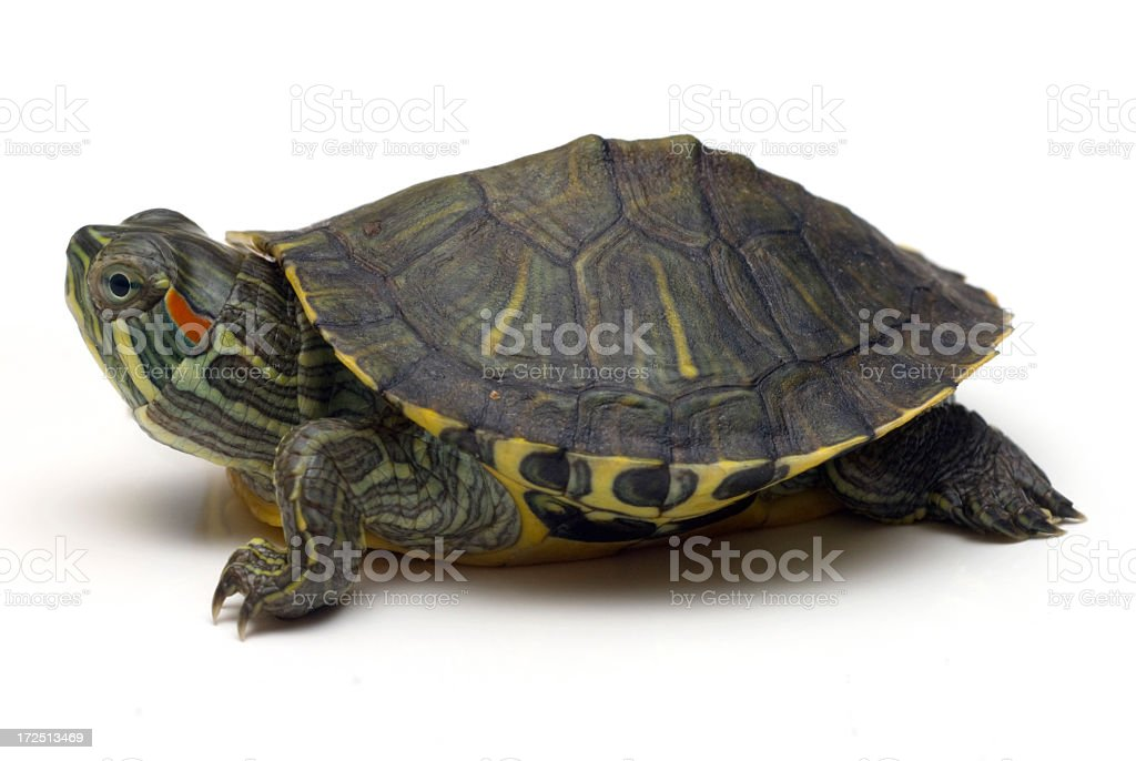 Turtle 01 royalty-free stock photo