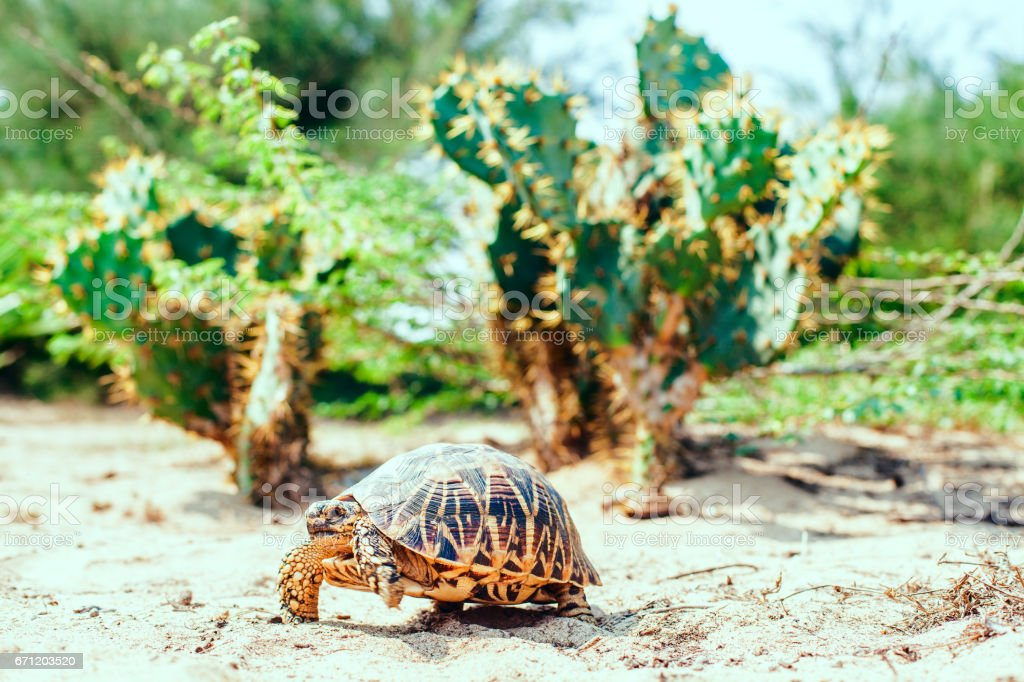 Turtle against the backdrop of a cactus stock photo