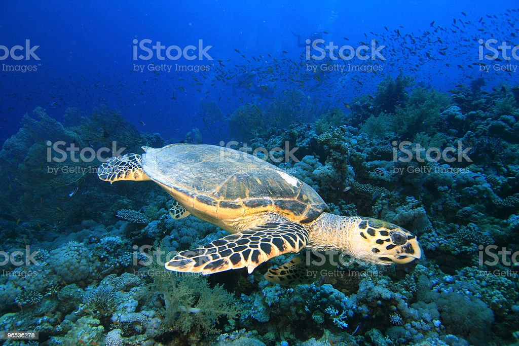 Turtle and Gorgonian Fan Corals royalty-free stock photo