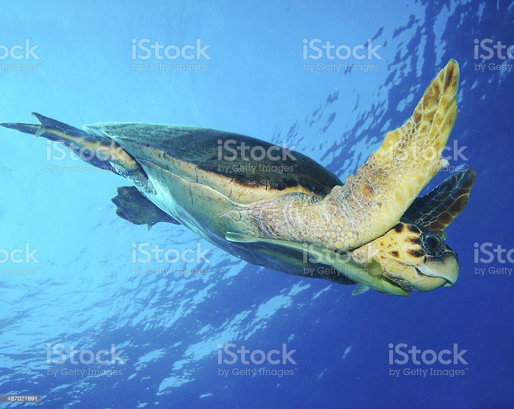 Turtle and remora fish stock photo