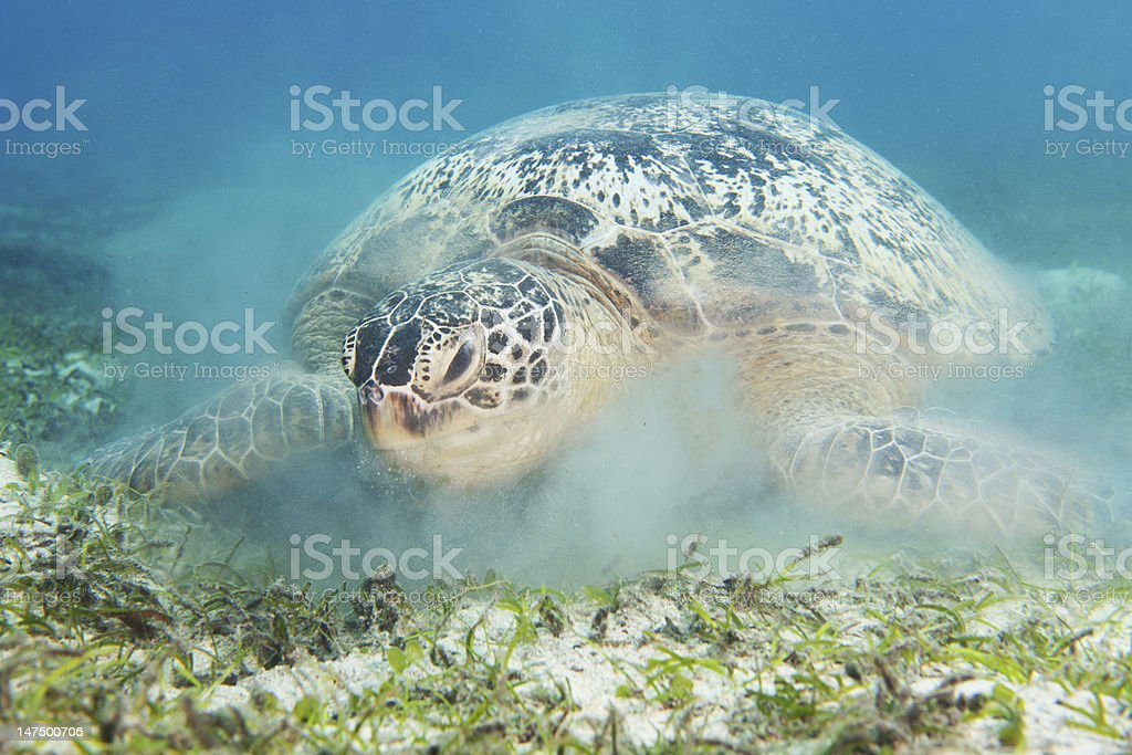 turtle and suspended sand royalty-free stock photo