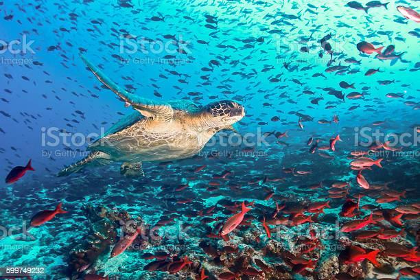 Turtle and tons of fish picture id599749232?b=1&k=6&m=599749232&s=612x612&h=oh xzlgldc ysogvh3mtzzpopxy3bhbokofgepbpbjs=