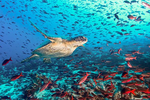 turtle and tons of fish - oceano pacífico imagens e fotografias de stock