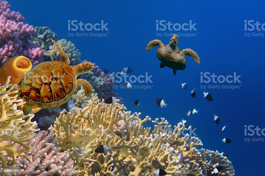 Turtle and Yellow Tube Sponges stock photo