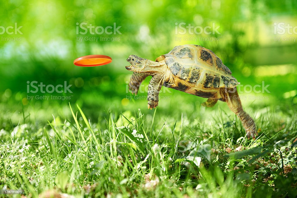 Turtle catches the frisbee stock photo