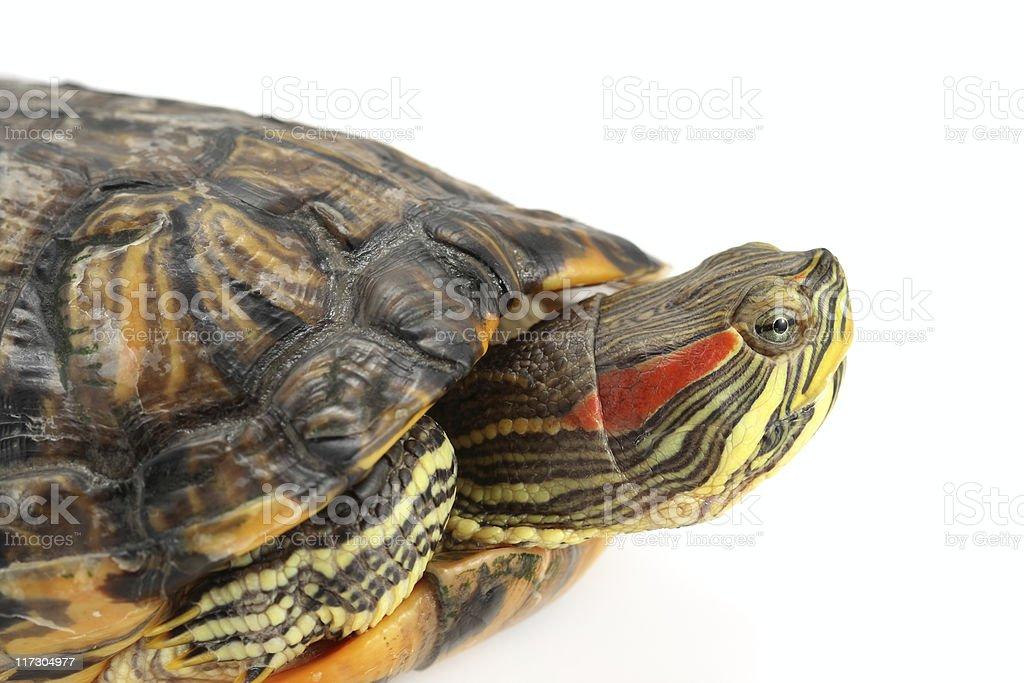 Turtle Close-Up stock photo