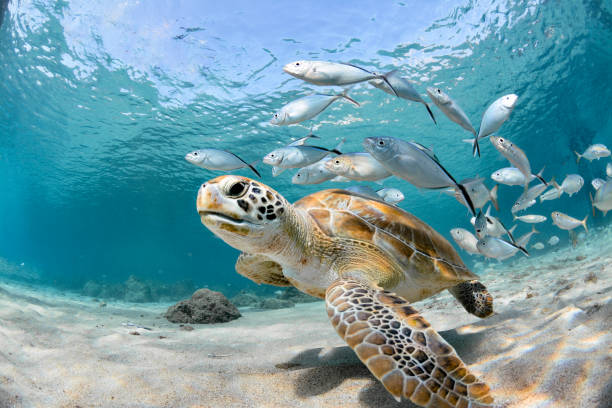 Turtle closeup with school of fish picture id1170804921?b=1&k=6&m=1170804921&s=612x612&w=0&h=xuzvfbahifosrrkub8bkhwduv04kkuhjbdoioncnvnu=