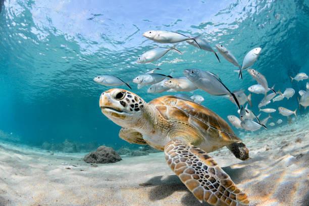 물고기의 학교와 거북이 클로즈업 - 바다 뉴스 사진 이미지