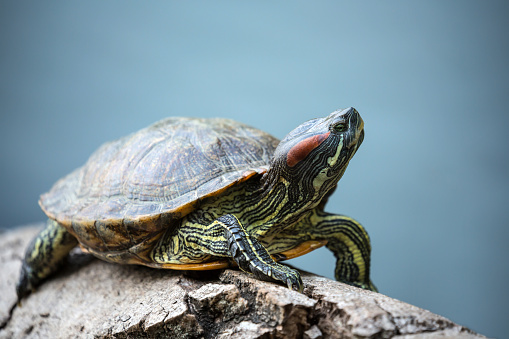 turtle crawl on timber floating in water