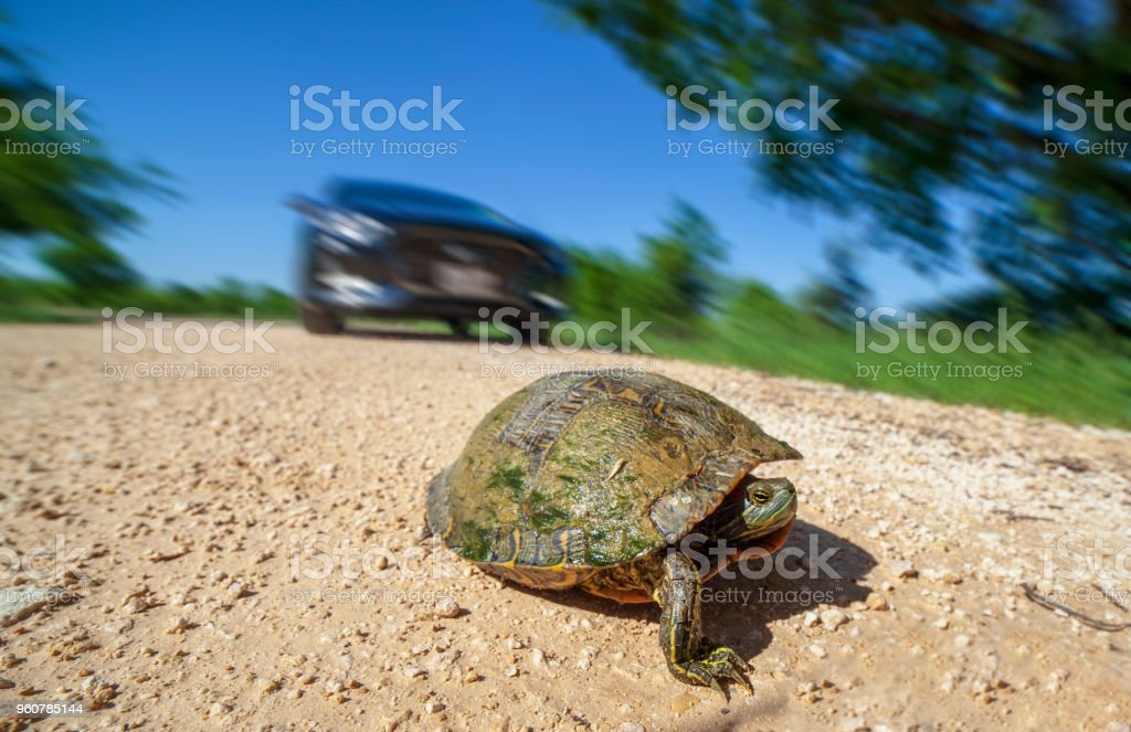 Turtle crossing the street stock photo