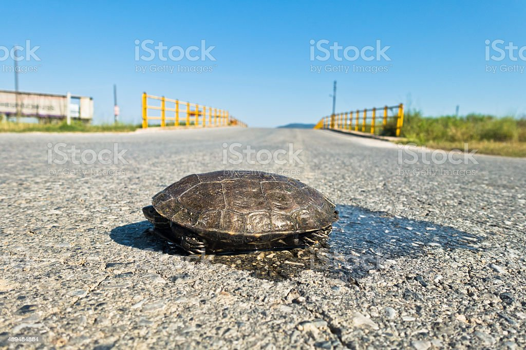 Turtle dangerously crossing road in front of small yellow bridge stock photo