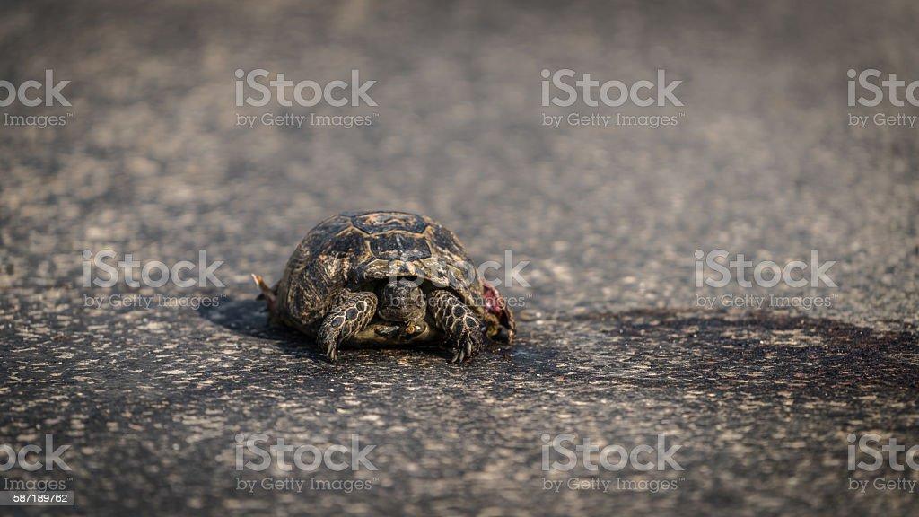 Turtle dangerously crossing road stock photo