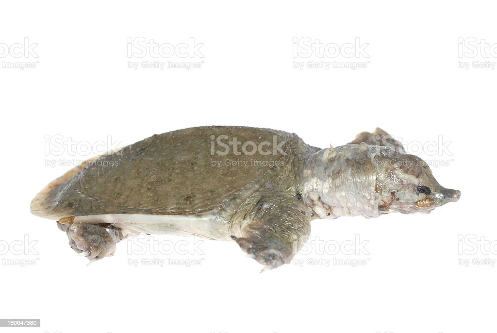 turtle dead of white spot disease royalty-free stock photo