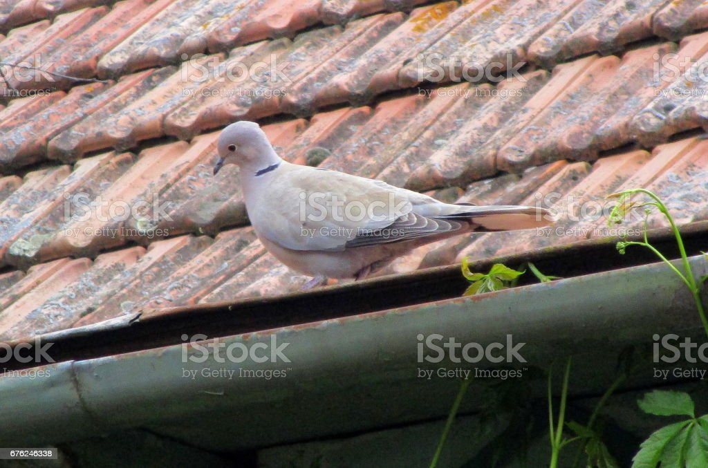 Turtle dove on the roof stock photo