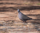 Turtle dove walking in search of food on a spring day