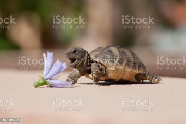 Turtle eat flower picture id844194726?b=1&k=6&m=844194726&s=612x612&h=rnwbploqpquvxxv7we3gmrrarzy9jclxyj y6gk4ypg=