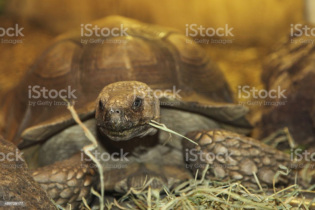 Turtle Eating Grass stock photo