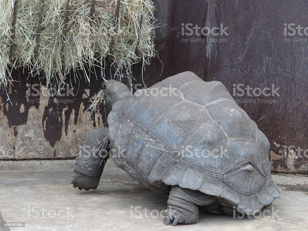 Turtle eating hay stock photo