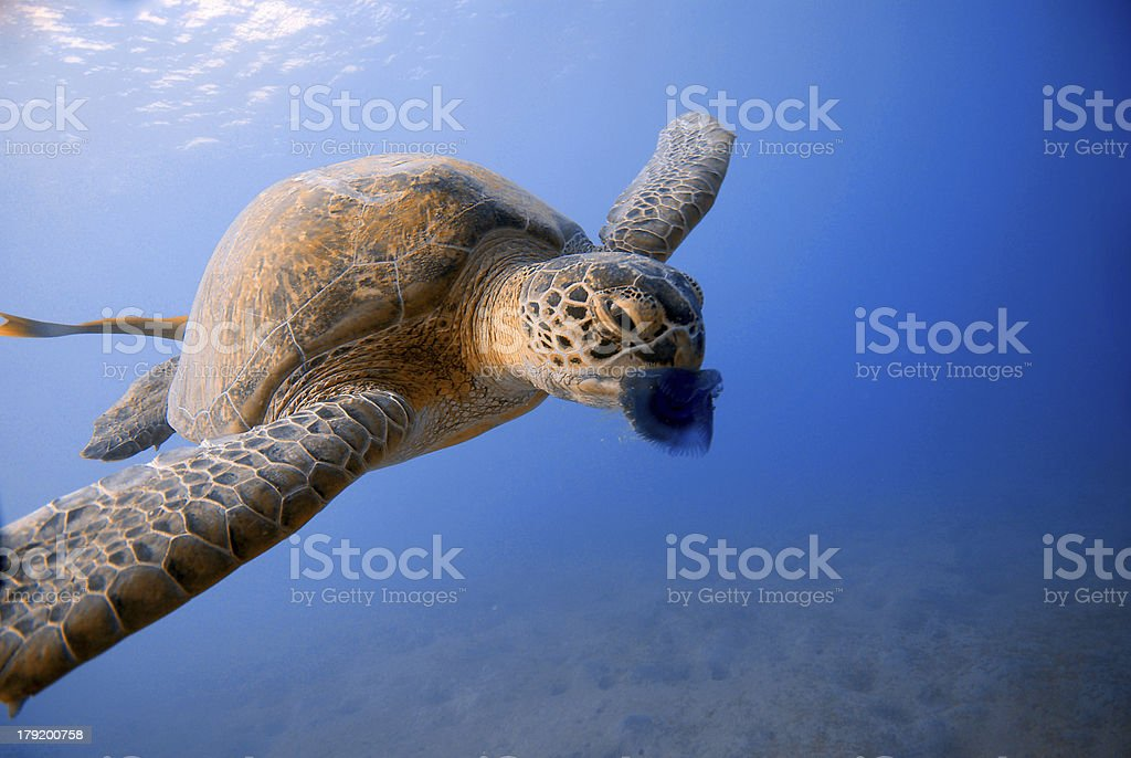 turtle eating jellyfish in Red Sea, Egypt stock photo