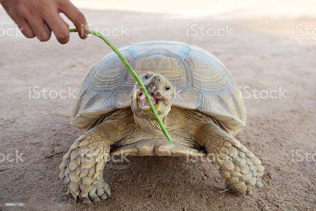 Turtle eating Yard Long bean stock photo