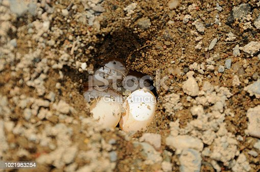 Painted turtle eggs in its environment.