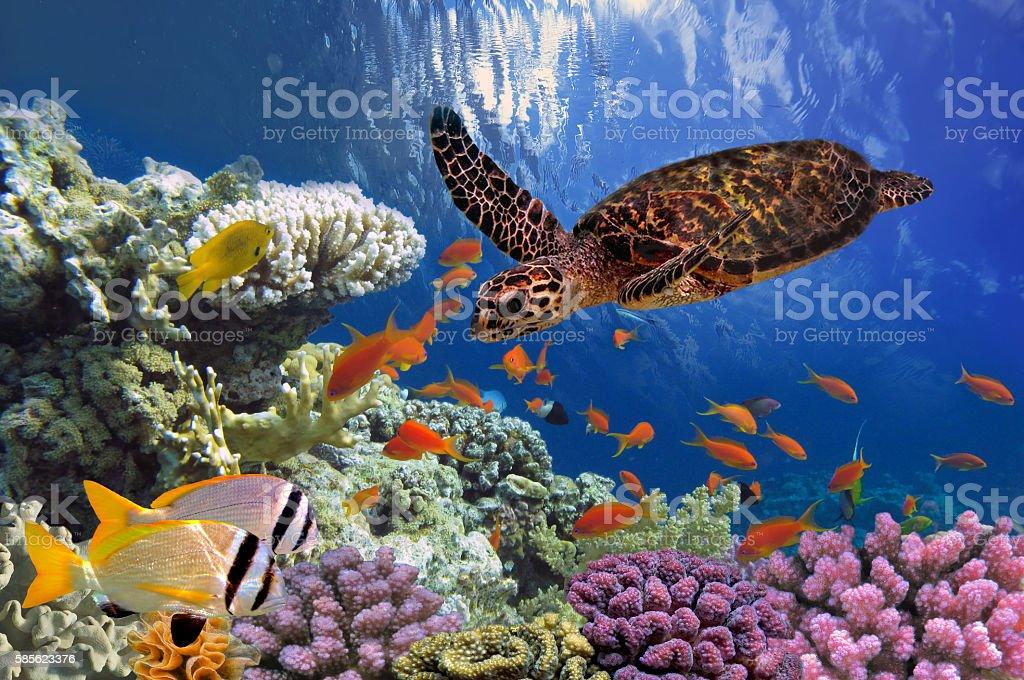 Turtle - Eretmochelys imbricata floats under water stock photo