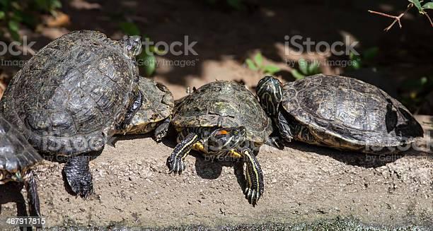 Turtle family picture id467917815?b=1&k=6&m=467917815&s=612x612&h=crclpsnoiizurwjmhc3lguouqzg1g5ai5ew3bakmq9k=